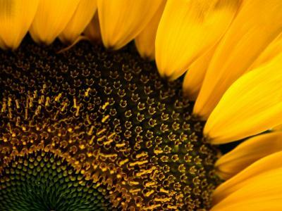 Close-up of a Sunflower