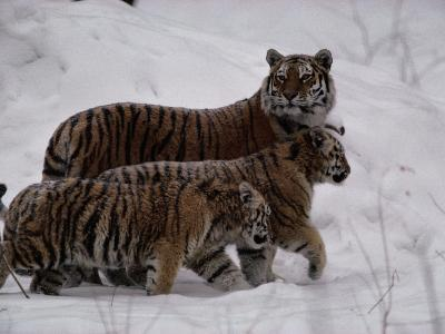 Siberian Tigers (Panthera Tigris Altaica) in the Snow