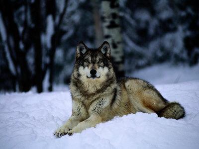 Gray Wolf Resting on New-Fallen Snow