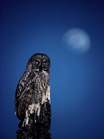 Great Gray Owl (Strix Nebulosa) on a Stump
