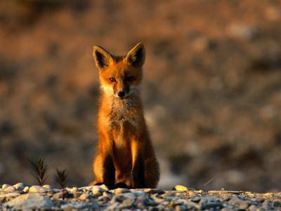 Portrait of a Young Red Fox