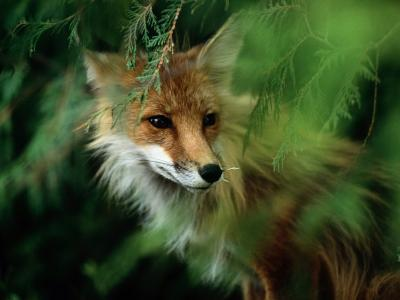 Fox with Porcupine Quills in its Nose