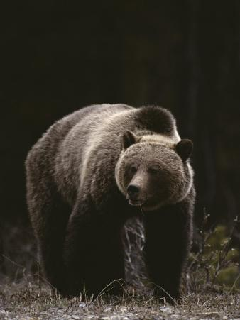 Grizzly Bear Viewed from the Front