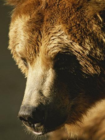 A Close View of the Face of a Grizzly Bear