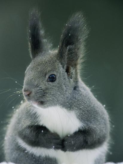 Large Tufted Ears Grace An Alert Looking Hokkaido Squirrel