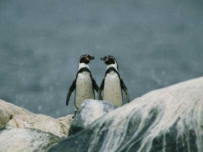 A Pair of Humboldt, or Peruvian, Penguins on a Rocky Shore