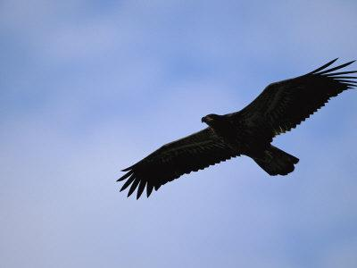Silhouetted Golden Eagle in Flight over Adak Island