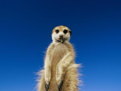 Insect Remains Hang on the Lips of a Meerkat