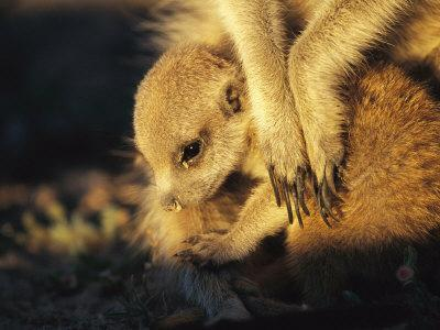 A Baby Meerkat Snuggles up to its Caretaker for Warmth and Safety