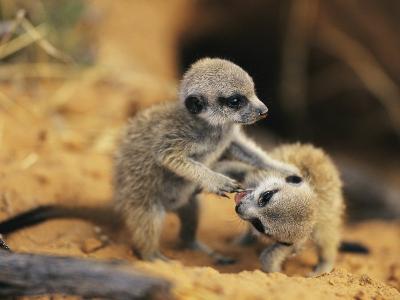 A Pair of Four-Week-Old Meerkat Pups Romp Near Their Burrow