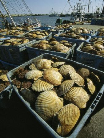 Scallop-Filled Crates Stacked on an Odaito Dock