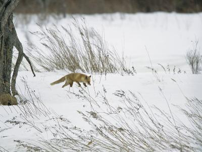A Red Fox in a Snowy Landscape