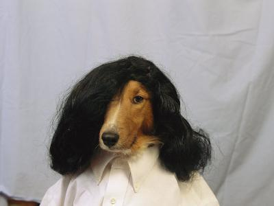 A Collie is Posed for a Humorous Photograph Wearing a Wig