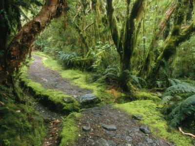 The Milford Track Running Through Temperate Rainforest Trees