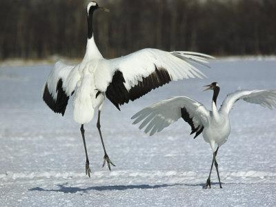A Pair of Japanese or Red Crowned Cranes Engage in a Courtship Dance