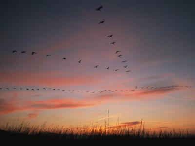 Flock of Common Cranes Flying at Sunset