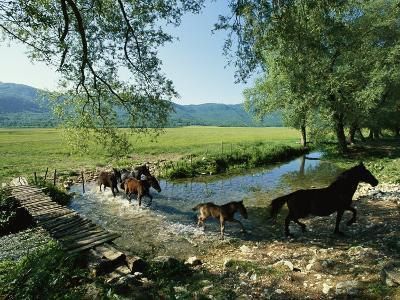 Wild Horses Cross a Stream on a High Plain Surrounded by Mountains