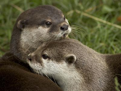 Pair of Mated Asian Short-Clawed River Otters Show Affection
