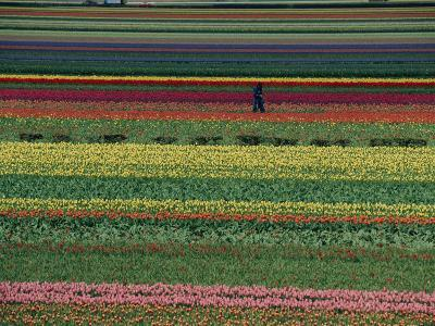 A Man Helps Tend Six Million Tulips at Keukenhof in the Netherlands