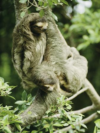 Sloths Cling to a Tree Branch