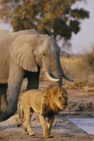 African Elephant and Lion at a Water Hole in Chobe National Park