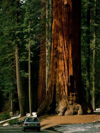 A Car Drives in Front of a Giant Sequoia Tree