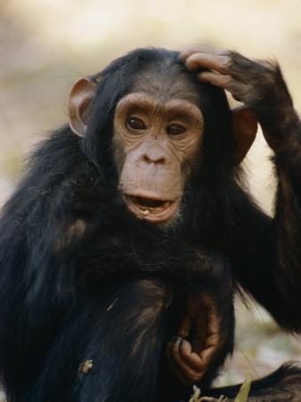 One of the Many Chimpanzees Studied by Jane Goodall at Gombe Stream National Park