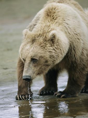 An Alaskan Brown Bear Walks Through Shallow Water