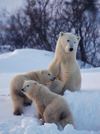 A Polar Bear Sits in the Snow with Her Two Young Cubs
