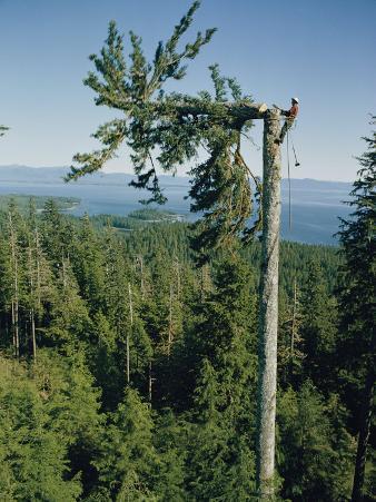 A Lumberman Tops a Sitka Spruce