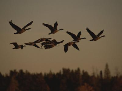 Canada Geese Fly in a Group Through a Goose Sanctuary