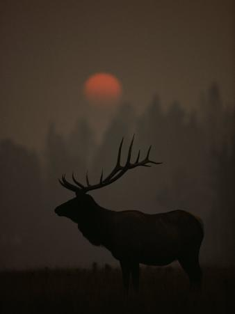 A Bull Elk (Cervus Elaphus) is Silhouetted in the Fading Light at Dusk
