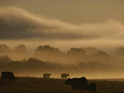 Cows are Silhouetted in a Field against Fog-Covered Trees at Dawn