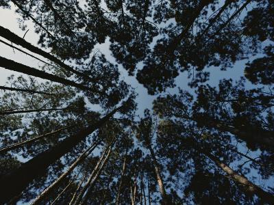 View Looking up at the Tops of Loblolly Pine Trees