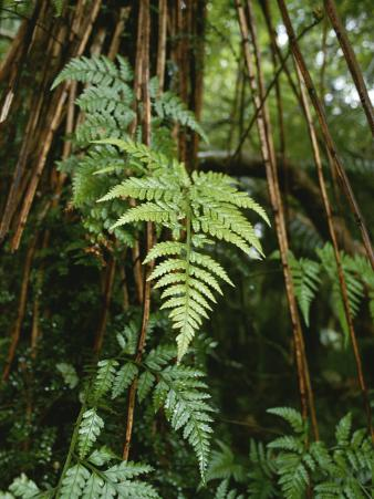 Wet Ferns in a Rain Forest Along the Hollyford Track