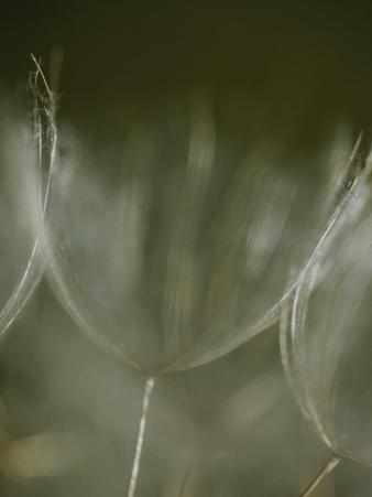 A Close View of a Dandelion Seed