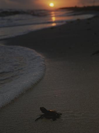 A Newly-Hatched Green Sea Turtle Makes its Way to the Surf