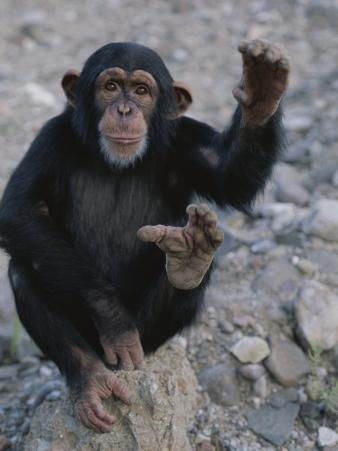 An Obliging Chimp Shows off the Splayed Big Toe Typical of Ape Feet