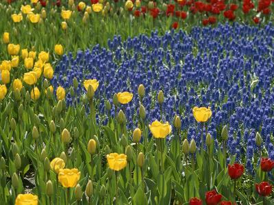 A Garden of Colorful Tulips and Grape Hyacinths in New York City