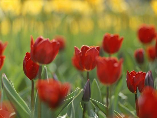 A Bed Of Red Tulips In New York City Photographic Print By Raul