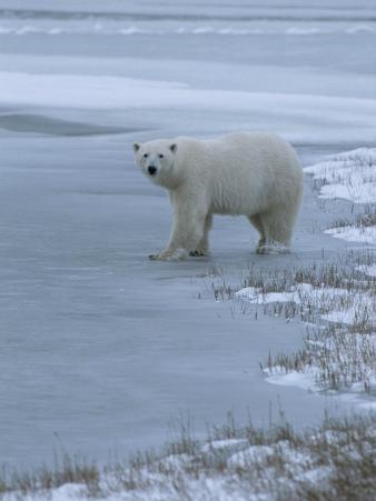 A Polar Bear Stepping onto Ice from Land