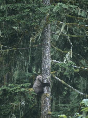A Grizzly Bear Clings to a Fir Tree it is Climbing