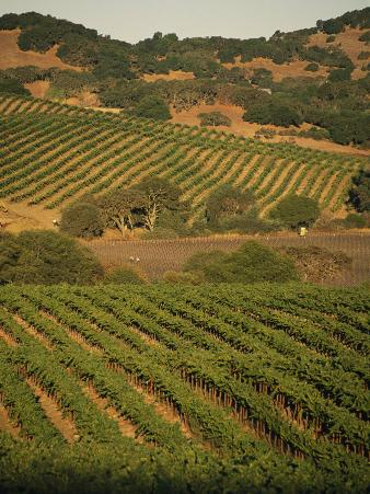 Sonoma County Vineyards, California