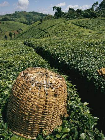 Tea Plantations Covering the Hills Near Mount Kenya