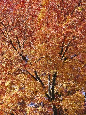 A Claret Ash Tree in its Autumn Colors