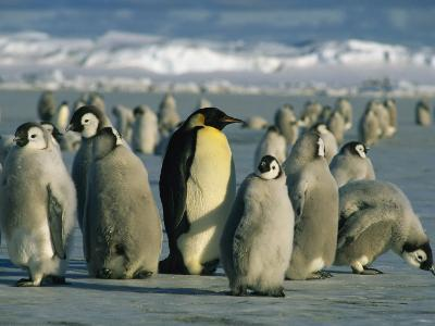 An Adult Emperor Penguin Joins a Group of Juveniles with Downy Coats