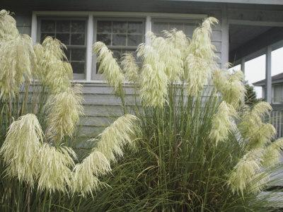 Pampas Grass Growing Outside a Hilton Head Beach House