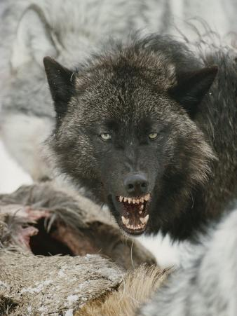 Gray Wolf Growls a Warning as It Feasts on a Deer