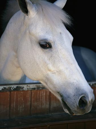 Portrait of a White Horse Looking Out the Door of its Stall