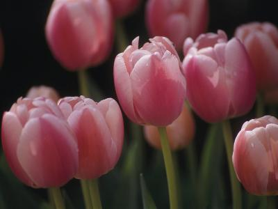 Close View of Tulips Blooming in the Chicago Botanic Garden